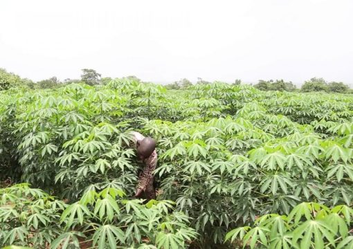 Cassava yields Trillions