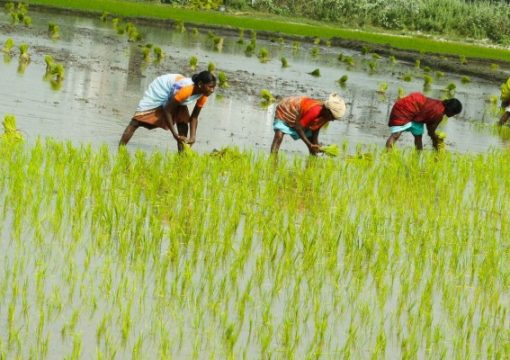 Rice farmers seek total ban